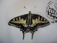 aniseswallowtail
